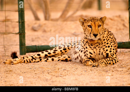 Cheetah (Acinonyx jubatus soemmerring), in a vivarium, Sir Bani Yas Island, Abu Dhabi, United Arab Emirates, Arabia, - Stock Photo