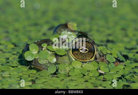 Bullfrog Rana catesbeiana adult in duckweed camouflaged Welder Wildlife Refuge Sinton Texas USA May 2005