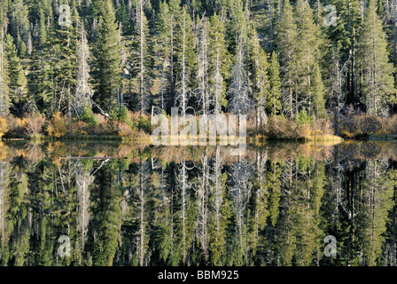 Spruce trees (Piceoideae) reflected in the Sardines Lake near Blairsden, North California, USA - Stock Photo