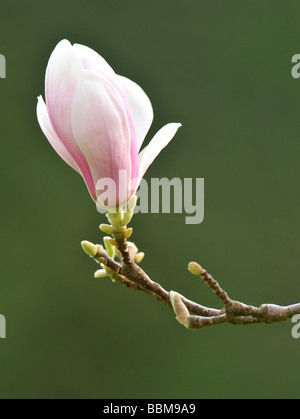 Saucer Magnolia (Magnolia x soulangeana), amabilis cultivar - Stock Photo