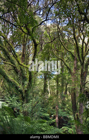Australia, Victoria. The rainforest in Melba Gully of the Otway National Park, off the Great Ocean Road. - Stock Photo