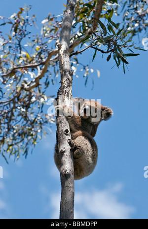 Australia, South Austrailia. A koala climbing an Eucalypt tree on Kangaroo Island. - Stock Photo