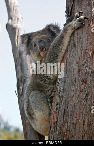 Australia, South Austrailia. A koala resting in the fork of an Eucalypt tree on Kangaroo Island. - Stock Photo