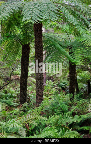 Australia New South Wales. Tree ferns at Leura Falls in the Blue Mountains. - Stock Photo