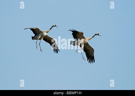 Common Crane (Grus grus), flying couple, Lake Hornborga, Vaestergoetland, Sweden, Scandinavia, Europe - Stock Photo