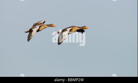 Greylag Goose (Anser anser), a couple in flight, Lake Hornborga, Vaestergoetland, Sweden, Scandinavia, Europe - Stock Photo