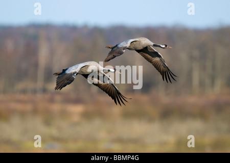 Common Cranes (Grus grus) flying in pairs in the countryside, Lake Hornborga, Vaestergoetland, Sweden, Scandinavia, - Stock Photo