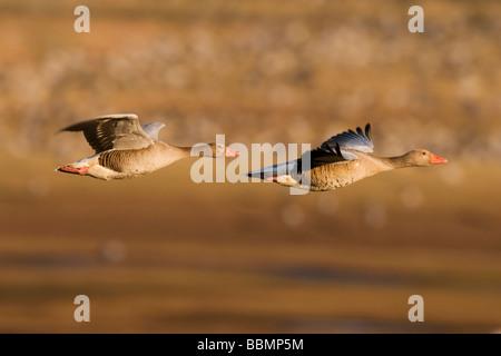 Greylag Goose (Anser anser), couple flying over resting cranes, Lake Hornborga, Vaestergoetland, Sweden, Scandinavia, - Stock Photo