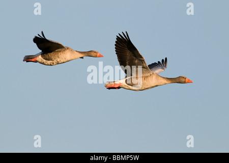 Greylag Goose (Anser anser), a pair in flight, Lake Hornborga, Vaestergoetland, Sweden, Scandinavia, Europe - Stock Photo