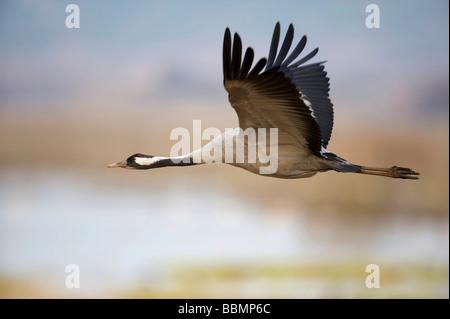 Common Crane (Grus grus) in flight, Lake Hornborga, Vaestergoetland, Sweden, Scandinavia, Europe - Stock Photo
