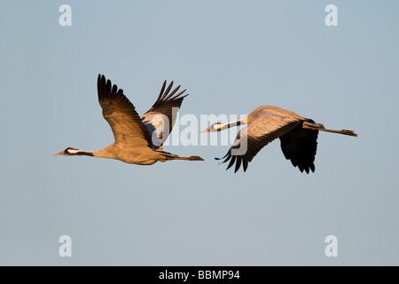 Crane (Grus grus), breeding pair flying in last daylight, Hornborgasee, Vaestergoetland, Sweden, Scandinavia, Europe - Stock Photo