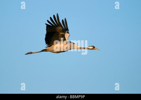 Crane (Grus grus), flying in last daylight, Hornborgasee, Vaestergoetland, Sweden, Scandinavia, Europe - Stock Photo