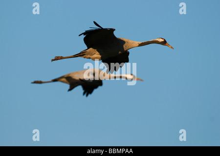 Common Cranes (Grus grus) flying in the last light of day, Lake Hornborga, Vaestergoetland, Sweden, Scandinavia, - Stock Photo