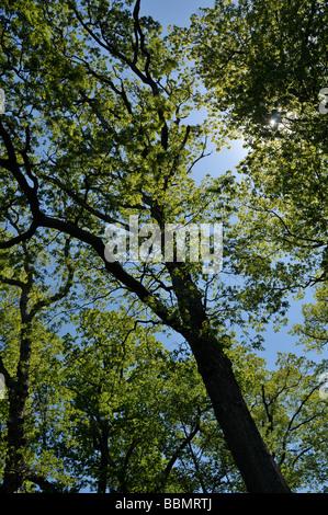 Mighty oaks. - Stock Photo