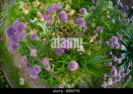Chives bloom in a Chelsea community garden in New York on Thursday May 22 2009 Frances M Roberts - Stock Photo