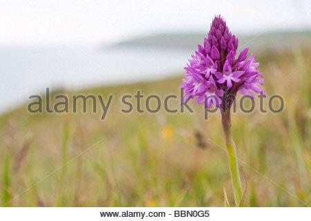 Pyramidal Orchid (Anacamptis pyramidalis) on coast. Dorset, UK. - Stock Photo