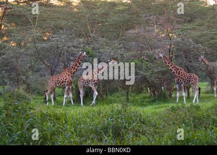 Rothschild giraffe Giraffa camelopardalis rothschildi NAKURU NATIONAL PARK KENYA EAST Africa - Stock Photo