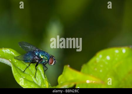 Green bottle fly (Lucilia caesar) - Stock Photo