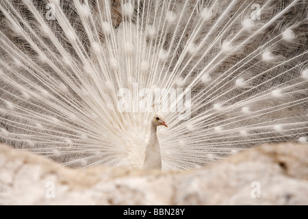 White peacock, male (Pavo cristatus mut. Alba) - Stock Photo