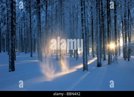 Evening light shining through the wintery Black Forest on Feldberg Mountain and illuminating the falling snow, Germany, - Stock Photo