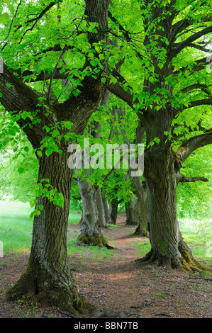 Large-leaved Linden or lime tree (Tilia platyphyllos) avenue in the spring - Stock Photo
