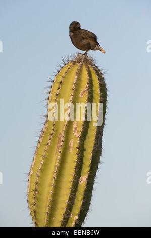 Small ground-finch (Geospiza fuliginosa) adult male perched on Candelabra Cactus (Jasminocereus thouarsii) Punta - Stock Photo
