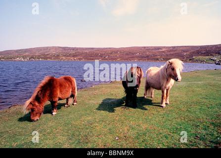 Three Shetland ponies grazing on a wild moor in the evening sun - Stock Photo