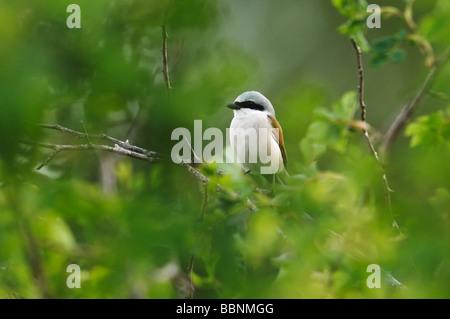 Red-backed shrike (Lanius collurio, male) - Stock Photo