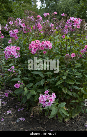 botany, garden phlox (phlox paniculata), Additional-Rights-Clearance-Info-Not-Available - Stock Photo