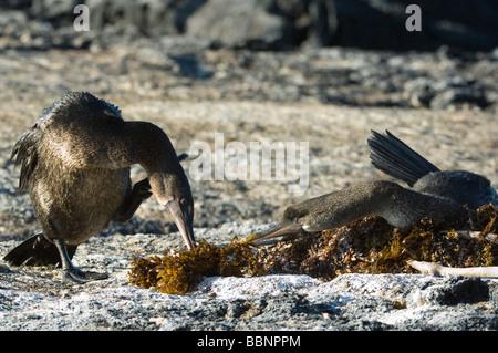 Flightless Cormorant (Nannopterum harrisi) male carrying seaweed nest-building gift Punta Espinosa Fernandina Isabela - Stock Photo