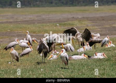 Colony of Yellow billed Stork Mycteria ibis NAKURU NATIONAL PARK KENYA  East Africa - Stock Photo