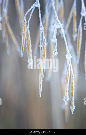 Stipa gigantea 'Gold Fontaene' with frost and ice - Stock Photo