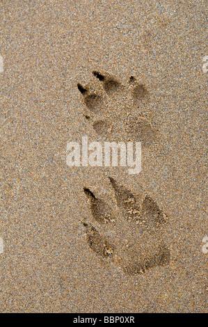 Dog paw prints in sand at Dornoch beach, east coast, Sutherland Scotland - Stock Photo