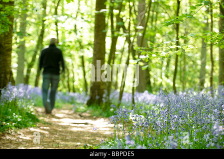 view of a wood full of bluebells at spring time with a man walking along a footpath - Stock Photo