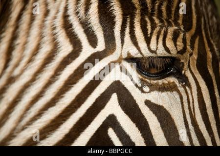 Grevy's zebra ( Equus grevyi ), head detail - Stock Photo