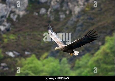 White Tailed Sea Eagle in Flight - Stock Photo
