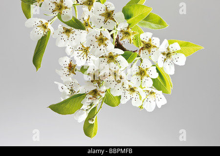 Blossoms of a Pear (Pyrus) - Stock Photo