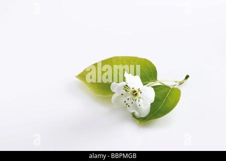 Blossoms of the Nashi Pear tree (Pyrus pyrifolia) - Stock Photo