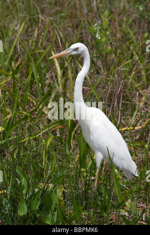 Great white herons and other birds abound on the Anhinga Trail at Royal Palm in the Everglades National Park, Florida. - Stock Photo