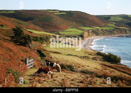 NORMANDY COW NEAR THE BAY OF ECALGRAIN, COTENTIN, MANCHE (50), BASSE-NORMANDIE, FRANCE - Stock Photo