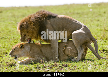 lion Panthera leo and lioness mating Masai Mara KENYA East Africa - Stock Photo