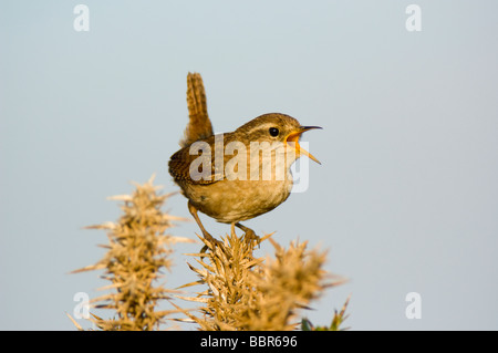 Wren Troglodytes troglodytes perched on and singing from a gorse bush Ulex europaeus against a blue sky - Stock Photo