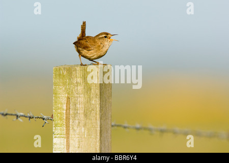 Wren Troglodytes troglodytes perched on and singing from a barbed wire fence post on farmland against a blue sky - Stock Photo