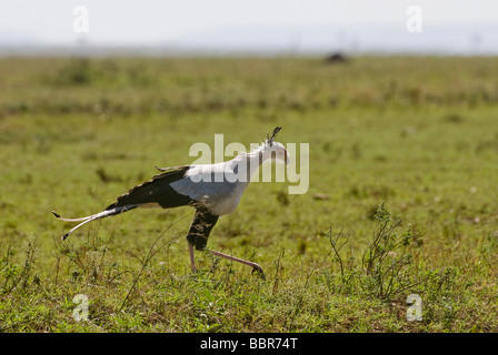 Secretary Bird Sagittarius serpentarius Masai Mara KENYA East Africa - Stock Photo