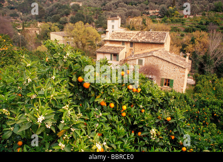 Oranges on trees, Fornalutx, Majorca Island, Spain. - Stock Photo