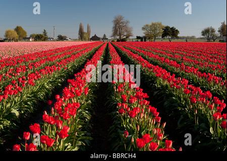 Red and pink tulip fields sunset light near Mount Vernon Washington State USA - Stock Photo