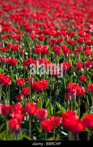 Red tulip fields near Mount Vernon Washington State USA - Stock Photo