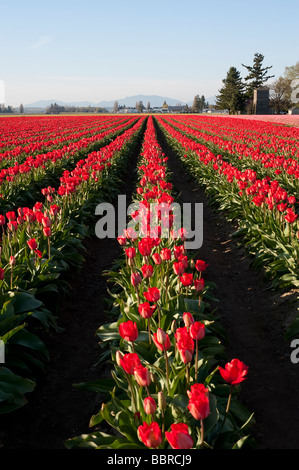 Red tulip fields near Mount Vernon Washington State USA - Stock Photo