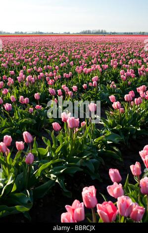 Pink tulip fields near Mount Vernon Washington State USA - Stock Photo