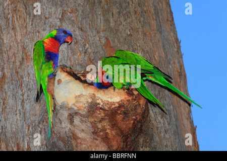 Rainbow Lorikeets, Trichoglossus haematodus, mating pair, inspecting a nest hollow in a gum tree while another bird - Stock Photo